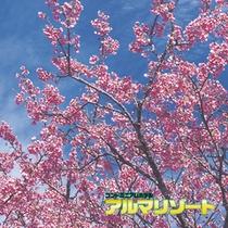 早咲きさくら