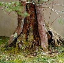 【いちいの樹】「いちい亭」は、邸内に一位の木があることから名づけられました。