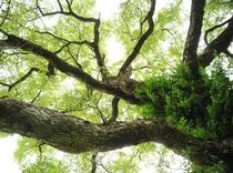 ハルニレの巨木