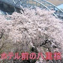 ホテル前に咲く八重桜
