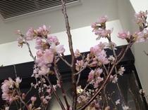 ロビーに桜