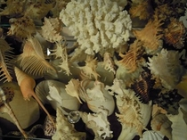 貝コレクション