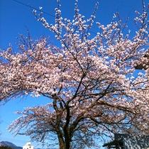ふくぜんに咲く桜