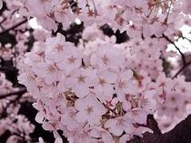 桜の花 3