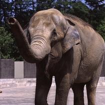 いしかわ動物園 ゾウ (当旅館「たがわ龍泉閣」よりお車で約5分)