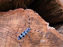 カミキリ虫、