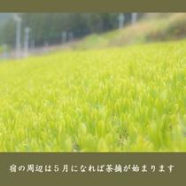 【新茶の畑】