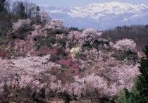 周辺観光地【福島市】花見山