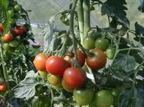 家庭菜園で採れたてフレッシュ高原野菜
