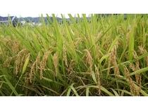 おいしいお米は安心国産米 地元の掛川産