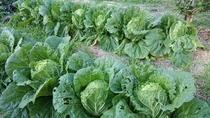 地産地消の朝ごはん・白菜も採れました