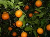 専用農園のオレンジ。