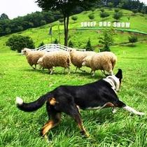 「グリーン牧場」では1日2回シープドッグショーが行われます