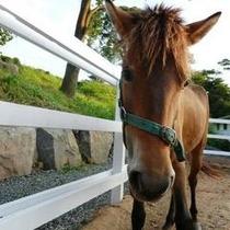 小柄で温厚な与那国馬と間近に触れ合ってみて
