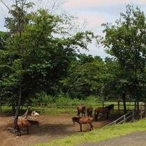11頭の与那国馬がのびのびと暮らす牧場に併設