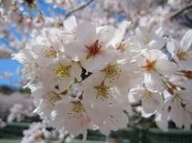 ソメイヨシノが綺麗です。