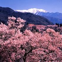 高遠城址公園 桜と南アルプス
