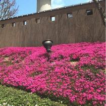 玄関横に咲くシバザクラ