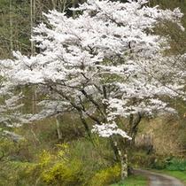 *春景色/周辺の山には桜が咲き春の訪れを教えてくれます。のんびり散策するのにお勧めの季節。
