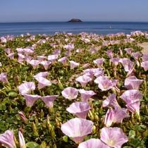 毎年5月~6月に咲く鳥取砂丘の『ハマヒルガオ』