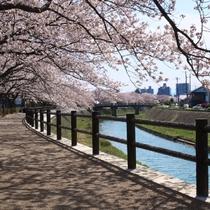 鳥取市の中心を流れる袋川沿いの桜並木。