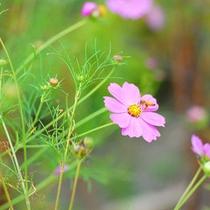 秋・コスモスとみつばち 大自然の中で様々な植物や動物とふれあえます