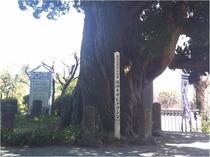 成願寺 ビャクシン 文部省指定天然記念物で樹齢約800年!!