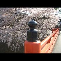 春の中橋と桜
