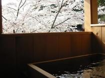 風 露天 桜