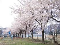 すぐそばの公園の桜