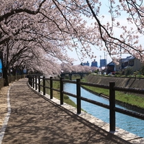 袋川桜土手の桜