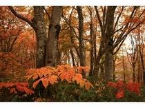 上の平高原「ブナ林」の紅葉