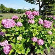 ◆姫路城前の公園のあじさい
