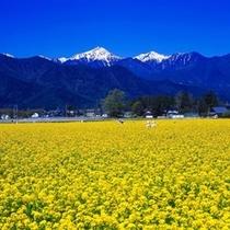 【春】常念岳をバックに!一面の菜の花畑。