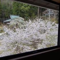 新館こもれびの館廊下からの桜の眺め