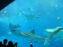 大人気!美ら海水族館(宿から車で3分、歩いて20分)