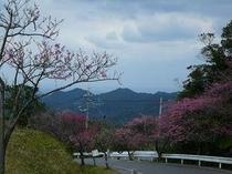 日本一早咲きの桜で有名な八重岳(宿から車で15分)
