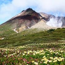 高山植物が咲き誇る7月の旭岳