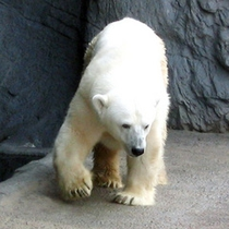 旭山動物園・シロクマさん