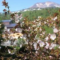 日本で一番遅く咲く桜「チシマザクラ」