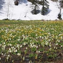 春・エゾノリュウキンカと水芭蕉の大群生