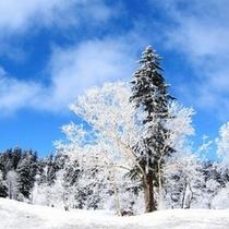 大雪山旭岳の広大な原生林に出現する樹氷