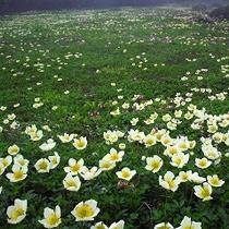 【高山植物】チングルマ群生