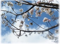とんとん周辺桜