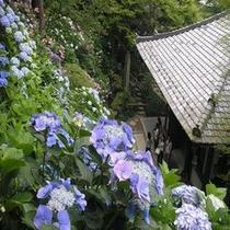 鎌倉 あじさい寺