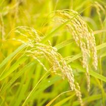 お米も自家栽培♪