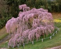 三春の滝桜(田村市)