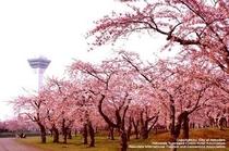 五稜郭公園 桜