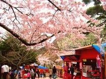 函館公園 桜