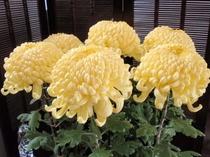 すばらしい菊